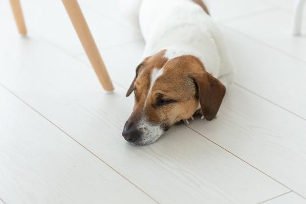 Huisdier, hond concept - trieste jack russel hond liggend onder de stoel