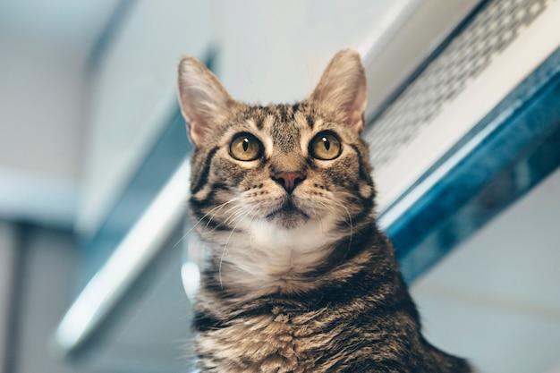 Huisdier in huis opzoeken. kat in de keuken die omhoog kijkt, huisdier thuis, schattige kattenlook,