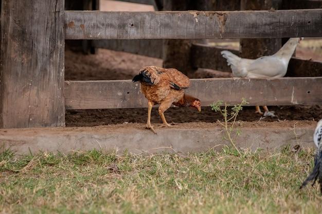 Huisdier kip van de ondersoort gallus gallus domesticus