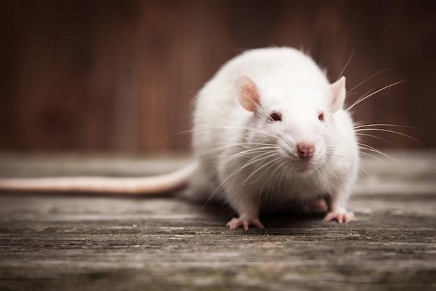 Huisdier rat