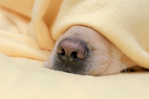 Huisdier verwarmt onder een gele deken in koud winterweer. hond neus dicht omhoog.