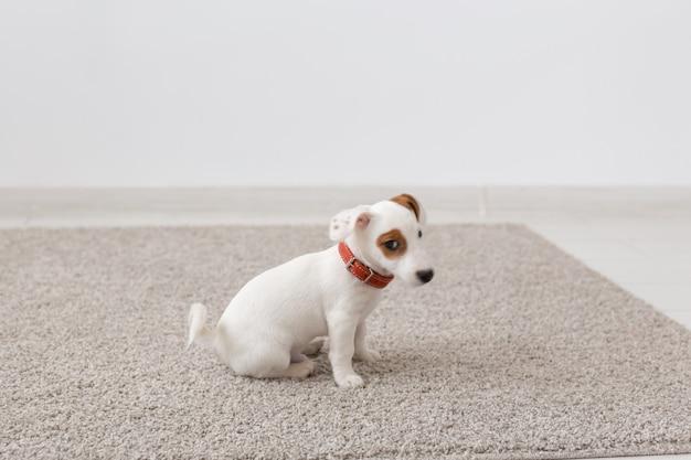 Huisdieren, dieren en binnenlands concept - kleine puppy van jack russell terrier zittend op een tapijt in de woonkamer