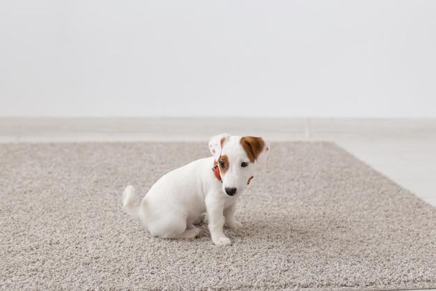 Huisdieren, dieren en binnenlands concept - kleine russell-puppyzitting op een tapijt in de woonkamer.