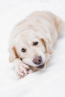Huisdieren in de natuur - een mooie golden retriever knabbelt aan de stok in een winter besneeuwd bos