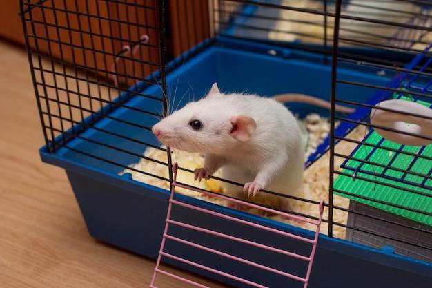 Huisdierenrat kijkt uit van een open kooi. witte binnenlandse dumbo-rat.