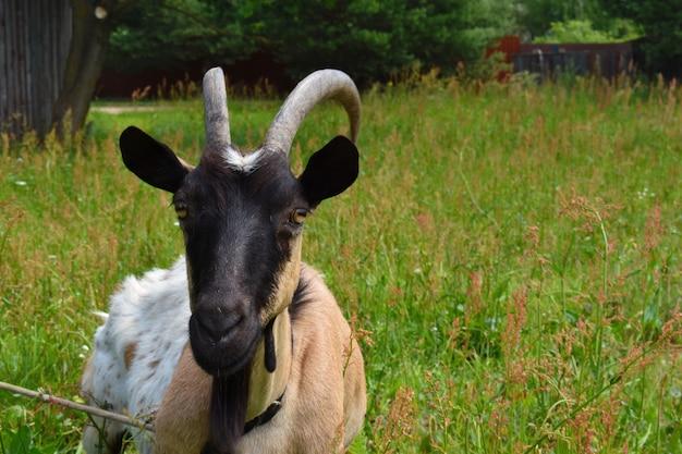 Huisgeit close-up. kop van een geit met hoorns.