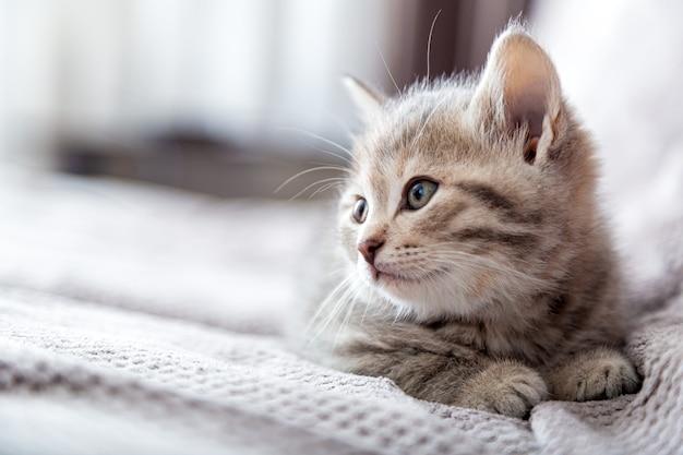 Huiskat kitten ligt op grijze bank en kijkt naar de kant op kopieerruimte tabby kat rust ontspannen op bed huisdier