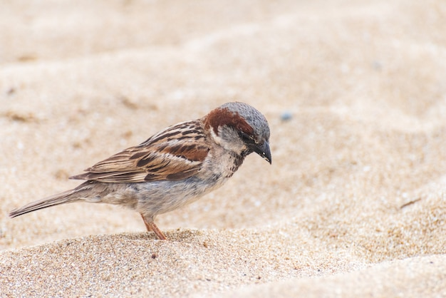 Huismusvogel op het strand