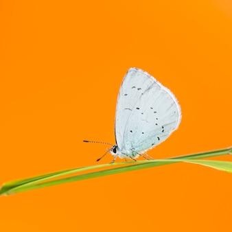 Hulstblauw, celastrina argiolus, op een grassprietje voor een oranje muur