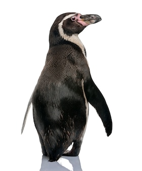 Humboldt-pinguïn, spheniscus humboldti, staand