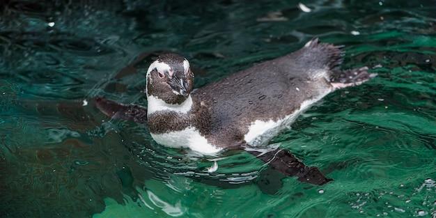Humboldt-pinguïnspheniscus humboldtis zwemt in een waterlichaam buiten