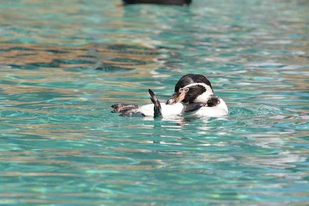 Humboldtpinguïn (spheniscus humboldti) drijvend op zijn rug