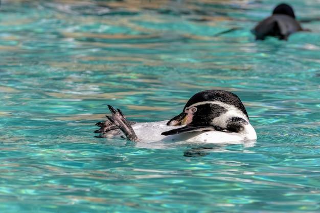 Humboldtpinguïn (spheniscus humboldti)