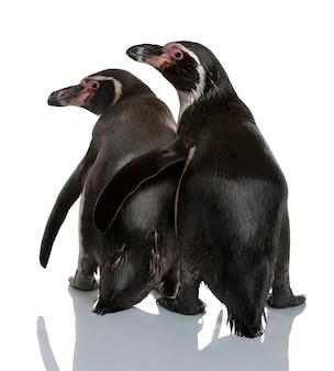 Humboldtpinguïnen voor witte achtergrond