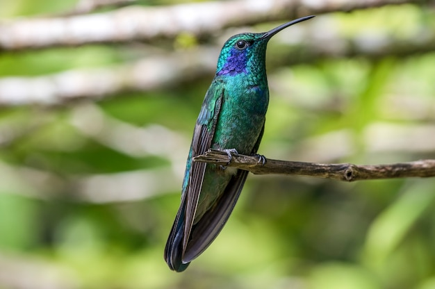 Hummingbird is een familie van kleine vogels uit de orde swift.