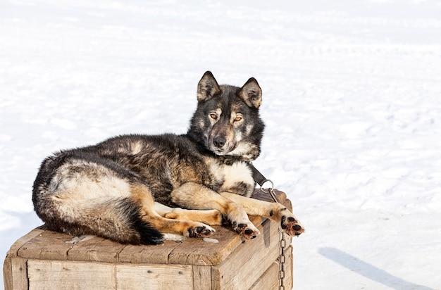 Huskies in de kinderkamer voor honden