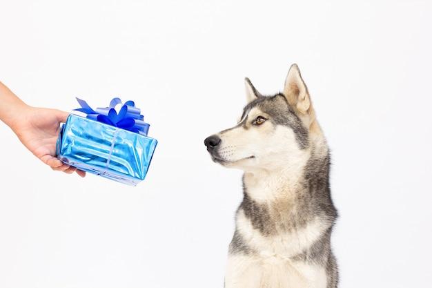 Husky hond heeft een huidige hond geïsoleerd op een witte achtergrond.