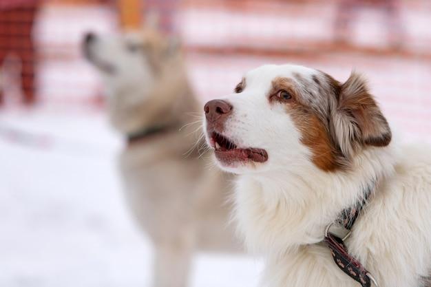 Husky hond huilt en blaft, grappig huisdier. grappig huisdier bij het lopen voor de sledehond opleiding.
