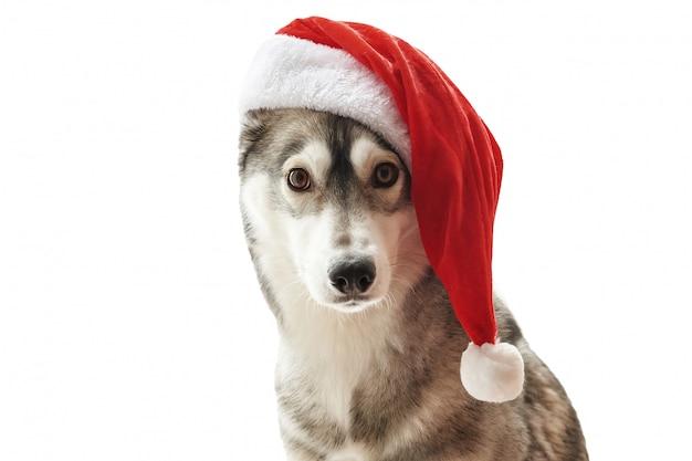 Husky hond in kerstmuts. portret van leuke siberische schor hond die de rode hoed van kerstmissanta claus draagt. xmas husky hond. briefkaart en kalender sjabloon. close-upportret van leuke, grappige en gelukkige hond.