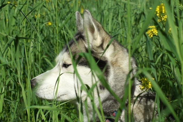 Husky hond kijkt uit gele bloemen.