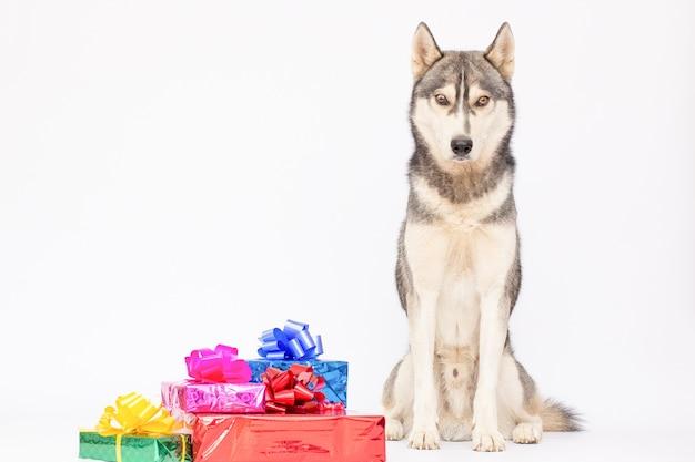 Husky hond met huidige geschenkdozen, vakantie dier huisdier op witte achtergrond