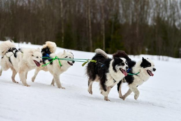 Husky hond op sledehonden racen winterhondensport slee teamcompetitie. siberische husky hond in harnas trekken skiër of slee met musher.