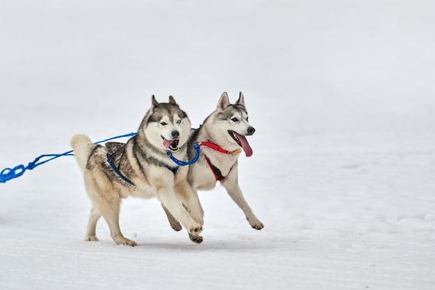 Husky hond op sledehonden racen. winterhondensport slee teamcompetitie