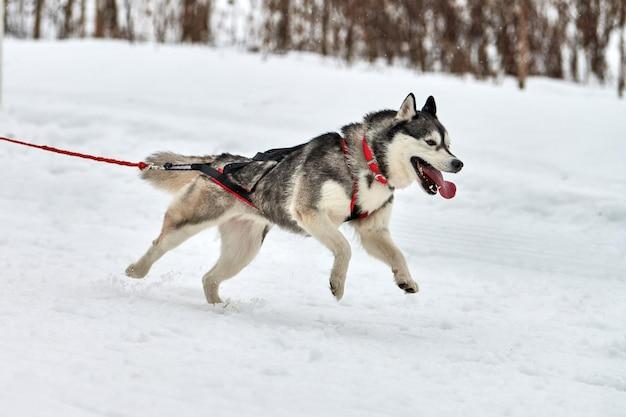 Husky hond op sledehonden racen winterhondensport slee teamcompetitie.