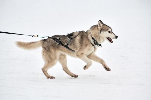 Husky hond op sledehonden racen