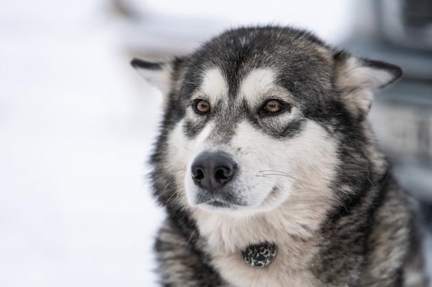 Husky hond portret. grappig huisdier bij het lopen voor de sledehond opleiding.