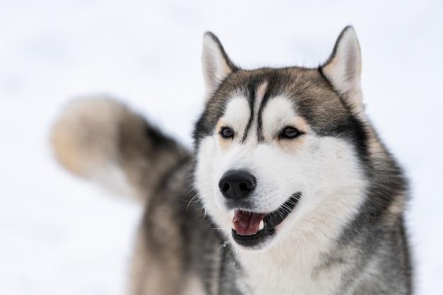 Husky hond portret, winter besneeuwde achtergrond. grappig huisdier bij het lopen voor de sledehond opleiding.