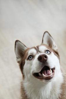 Husky hond portret