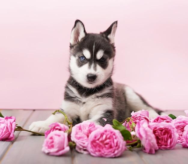 Husky hond puppy en roze thee rozen.