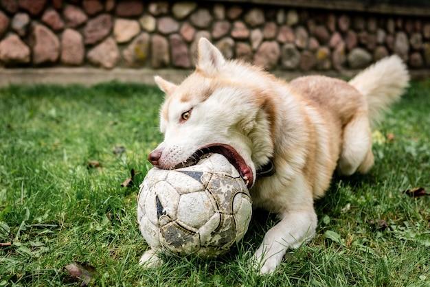 Husky hond spelen op het groene gras met voetbal.