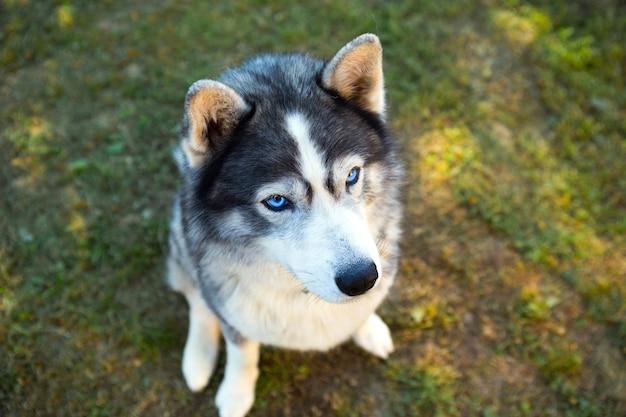 Husky hond zit en kijkt naar de eigenaar, voert het sit-commando uit. een huisdier trainen op het gras, close-up, blauwe ogen van toegewijden en een hondenneus, dik dierenhaar in een halsband.