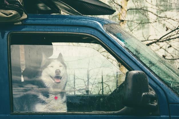Husky hond zit in een beladen auto om in de regen te reizen en kijkt ons aan door het glas
