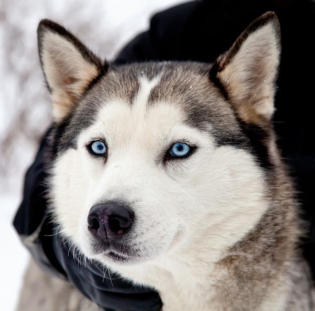 Husky hond
