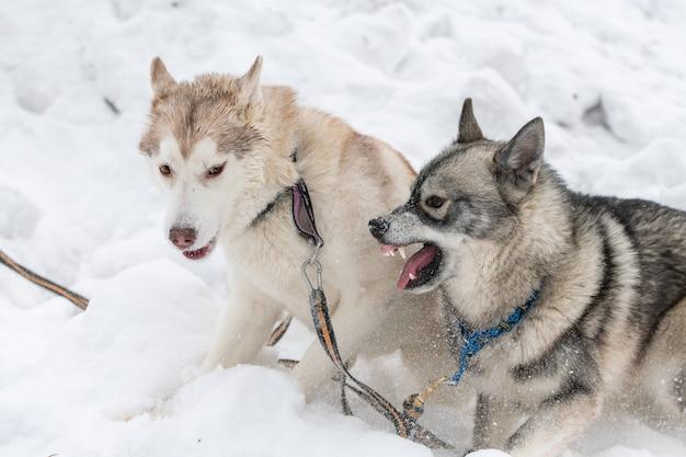 Husky honden blaffen, bijten en spelen in de sneeuw