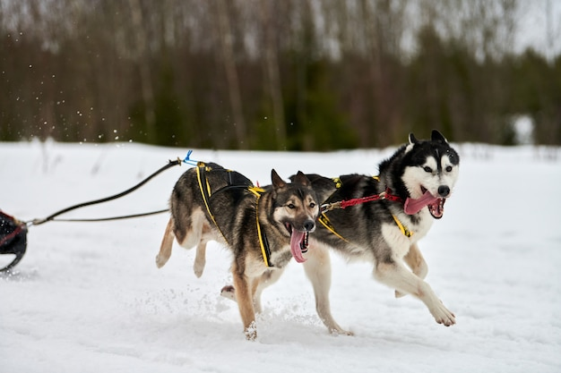 Husky honden rennen op sledehondenraces