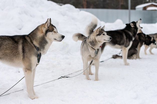 Husky honden wachten op sledehondenrace