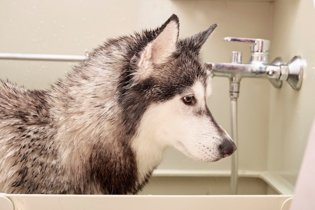 Husky hoofd close-up in de verzorgingsbadkamer.