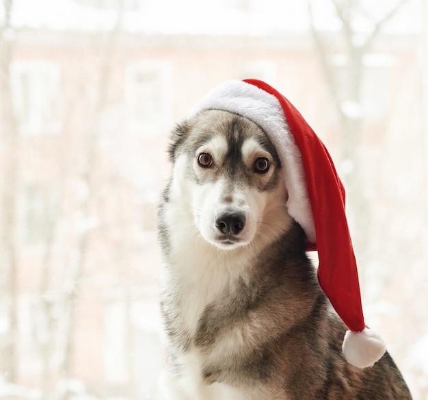 Husky in kerstmuts. portret van leuke siberische schor hond die de rode hoed van kerstmissanta claus draagt. xmas husky hond. briefkaart en kalender sjabloon. close-upportret van leuke, grappige en gelukkige hond.