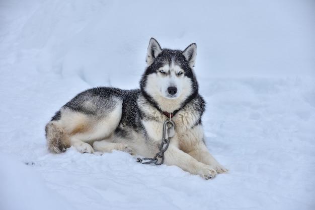 Husky ligt in de sneeuw