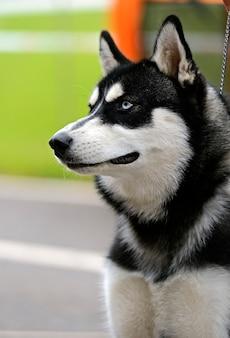Husky op een hondenshow in het voorjaar
