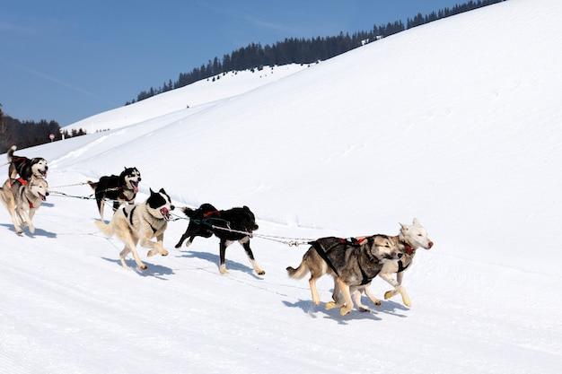 Husky race in alpine berg in de winter