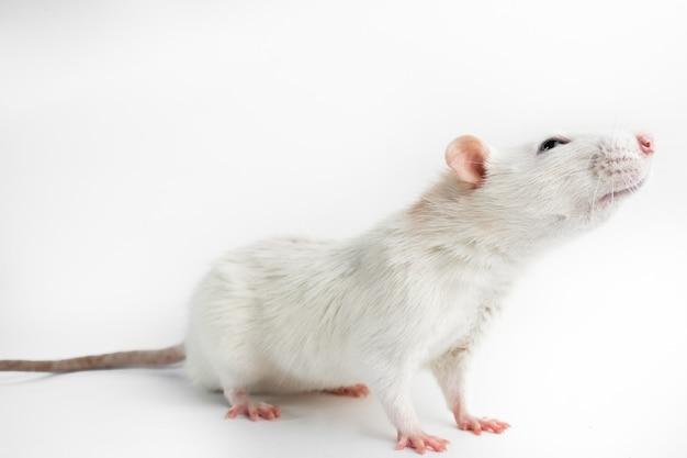 Husky rat, 12 maanden oud, voor witte achtergrond.