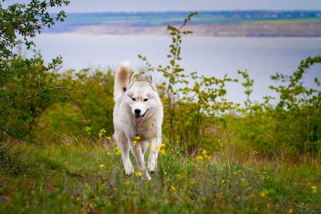 Husky rent door het gras. de hond loopt in de natuur. siberische husky rent naar de camera.