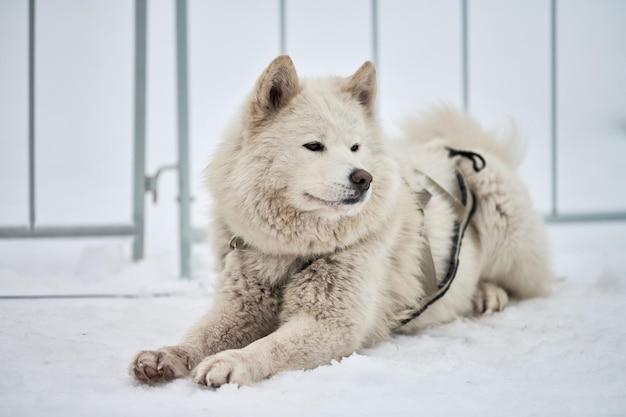 Husky sledehond gezicht, winter achtergrond. siberische husky hondenras buiten snuit portret
