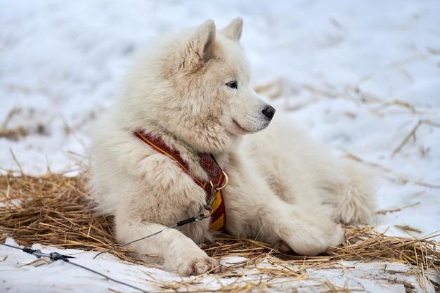 Husky sledehond ligt op stro, uitzetlijn