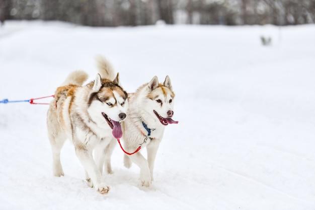 Husky sledehond mushing in de winter